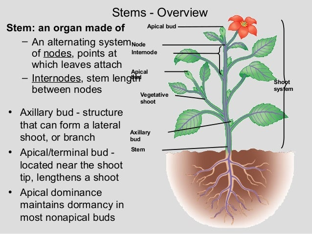Plant structure growth development for What are internodes