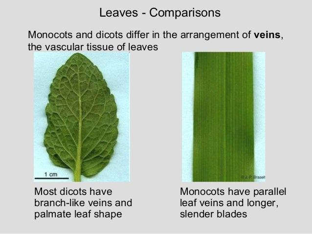 the germination patterns of dicot and Monocots and dicots chart showing differences  monocot:  germination  when a dicot germinates,.