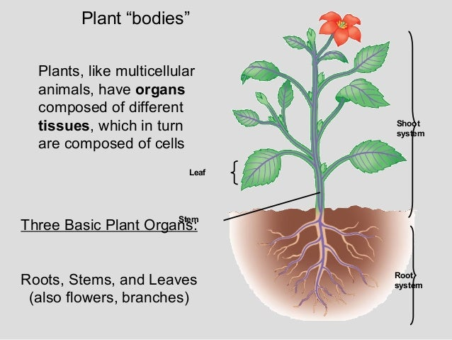 growth structure of plants Plants: • structure and growth presentation prepared by: әмір л тағайбек с  2 first some basics there are 2 main divisions in the plant kingdom.