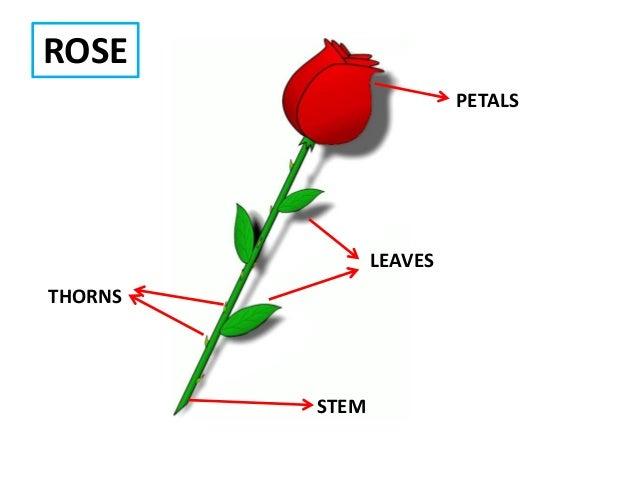 Plants y1 petals thorns leaves stem rose ccuart Images