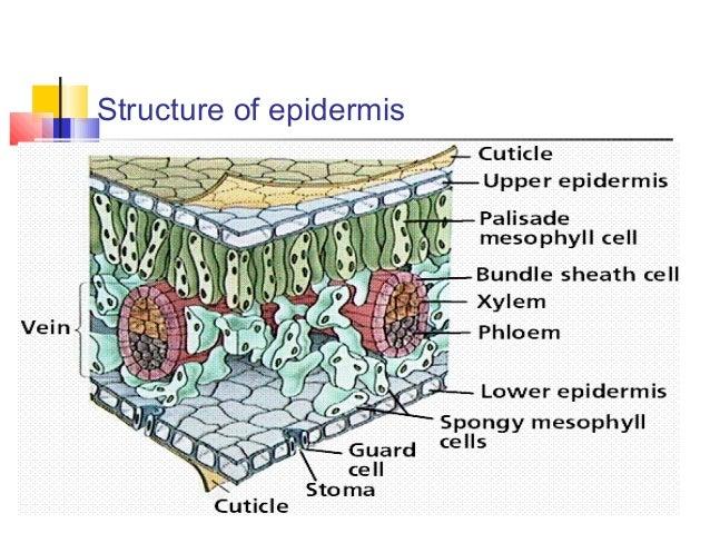 epidermis plant tissue