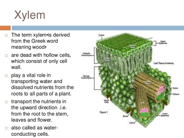 Plant tissues Xylem Tissue Facts