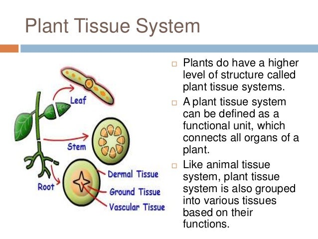 plant tissue system Class 1x biology plant tissues a group of organs which perform a specific function is called an organ system location of meristematic tissue in a plant body.