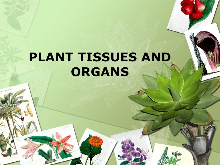 Plant Tissues And Organs 1 728gcb1292111313