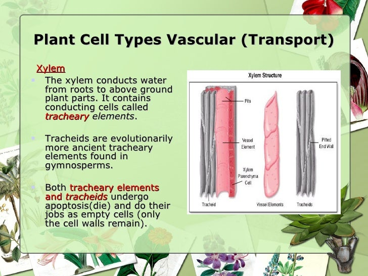 Plant tissues and organs plant cell ccuart