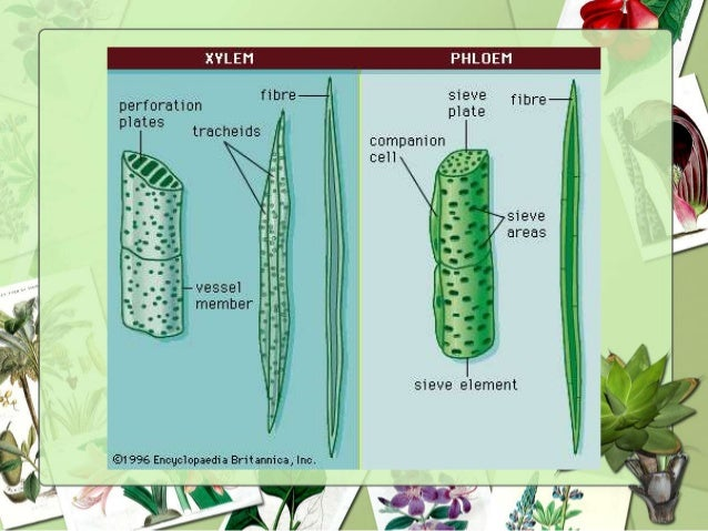 plant vascular tissue Vascular tissue system all the 3 types of plant tissue system and their function (with diagram) some of the most important types of plant tissue system and.