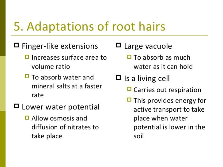 Plant transport 10 5 adaptations of root hairs ccuart Choice Image