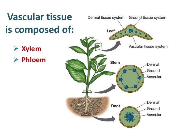 Plant Xylem And Phloem Diagram Wiring Diagram