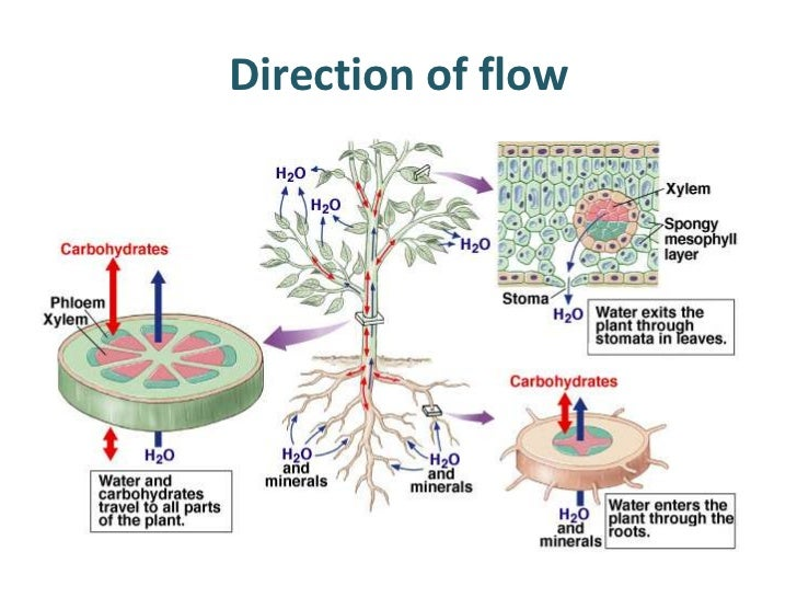 Stomata and xylem and phloem diagram house wiring diagram symbols plant transport rh slideshare net tree xylem and phloem diagram xylem and phloem venn diagram ccuart Image collections
