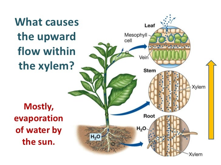water and sugar transport in plants Plants have two transport systems to move food, water and minerals through their   dissolved sugars, produced during photosynthesis, and other soluble food.