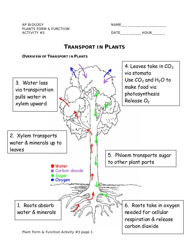 Plant transport notes – Xylem and Phloem Worksheet