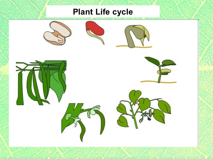 Lima Bean Plant Diagram