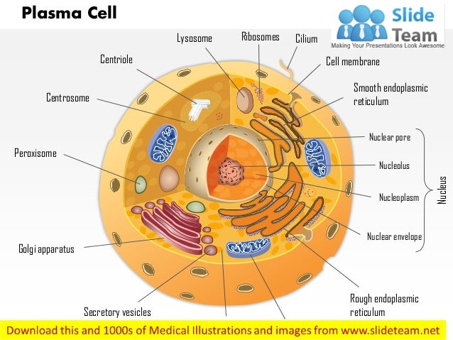 Plasma cell immune system medical images for power point plasma cell lysosome centriole centrosome peroxisome ribosomes cilium cell membrane smooth endoplasmic reticulum nuclear p publicscrutiny Gallery