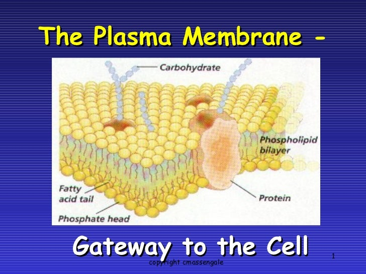 The Plasma Membrane  - Gateway to the Cell copyright cmassengale