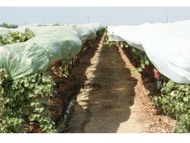 Plastics cover materials for table grapes for Table grapes zone 6