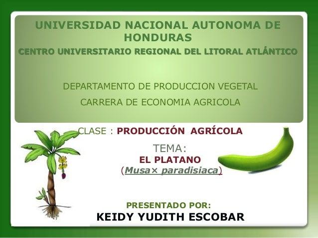 TEMA: EL PLATANO (Musa× paradisiaca) UNIVERSIDAD NACIONAL AUTONOMA DE HONDURAS CENTRO UNIVERSITARIO REGIONAL DEL LITORAL A...