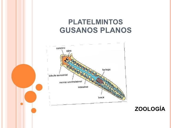 PLATELMINTOS GUSANOS PLANOS ZOOLOGÍA