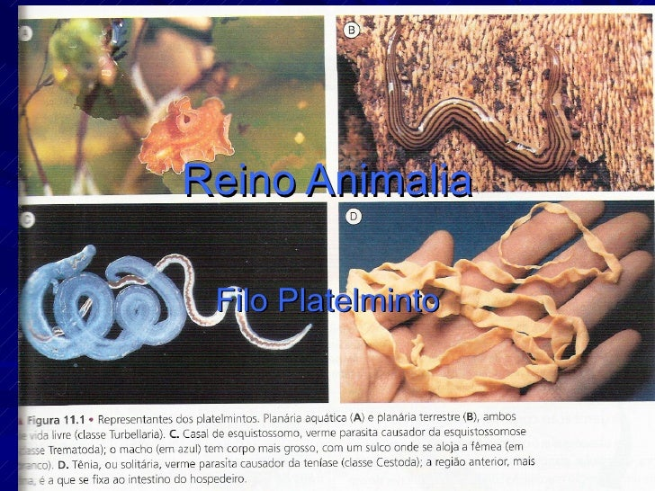 Reino Animalia Filo Platelminto