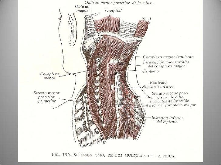 Platica cuello anatomia general semestre agosto diciembre 2011