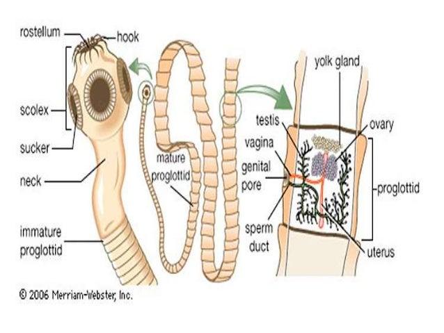 Platyhelminthes Cestoda