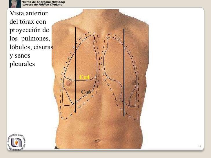 Único Anatomía De Superficie De Tórax Componente - Anatomía de Las ...