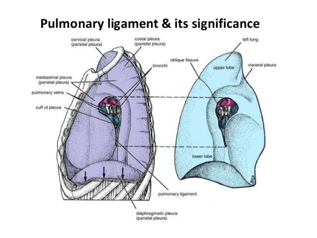 pleura and its recesses, Human Body