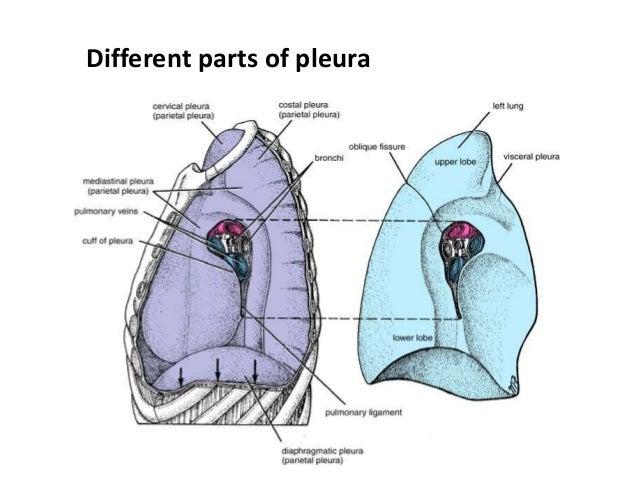 Pleura and its recesses