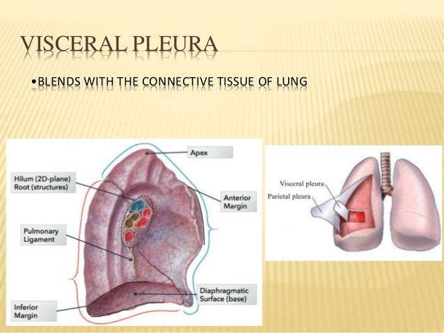 pleura and lung, Human Body