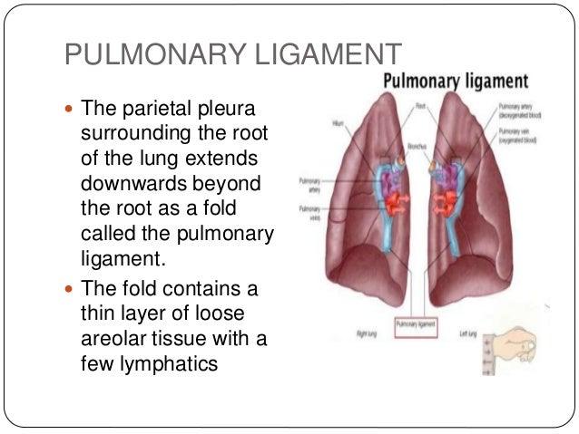 pleura and pleural cavity copy, Human Body