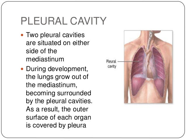 pleura and pleural cavity copy, Human Body