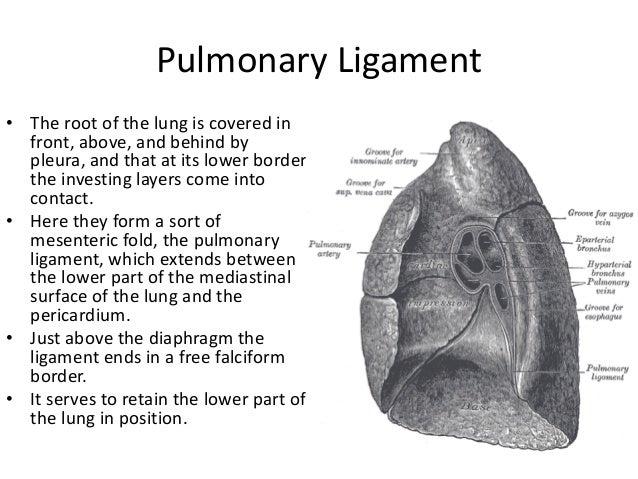 Pulmonary Ligament   tenderness.co  Pulmonary Ligam...