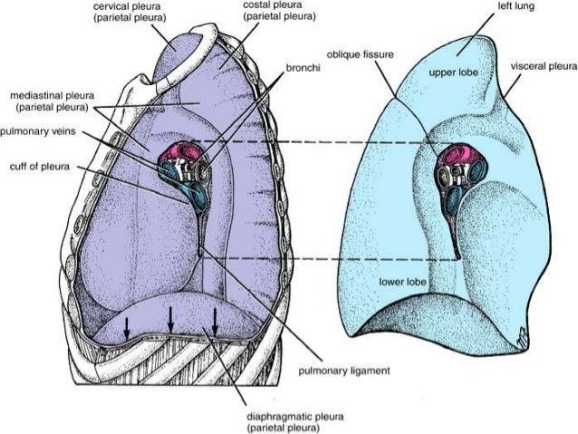 Anatomy Of Pleura Grays Description Simplified