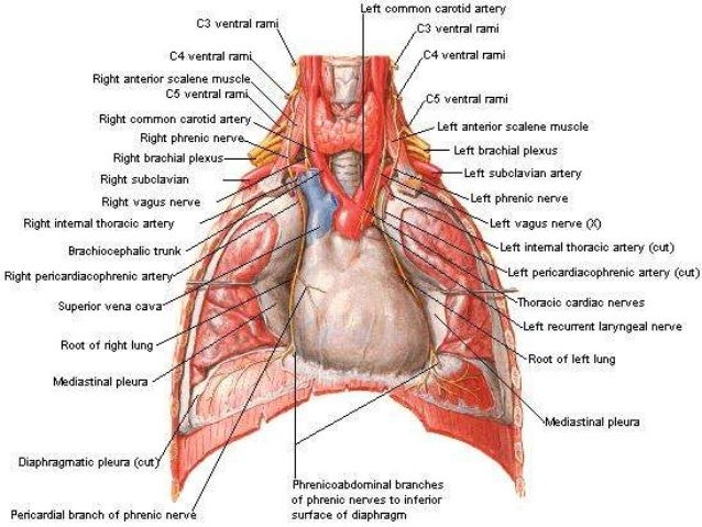 Anatomy Of Pleura Grays Description Simplified