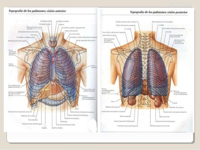 Pleura y pulmones anatomia practica