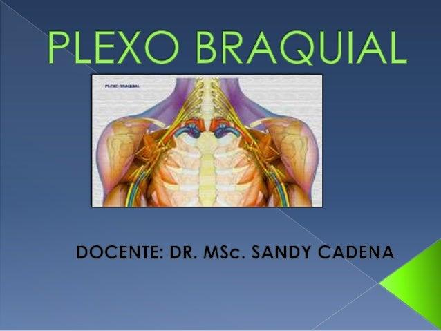  Casi todos los nervios del miembro superior  nacen del plexo braquial.   Comienza en el cuello  y termina en la axila. ...