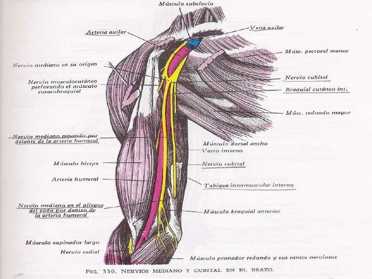 Moderno Anatomía De La Arteria Brazo Viñeta - Anatomía de Las ...