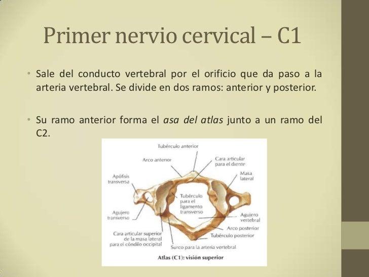 Plexo cervical Slide 3