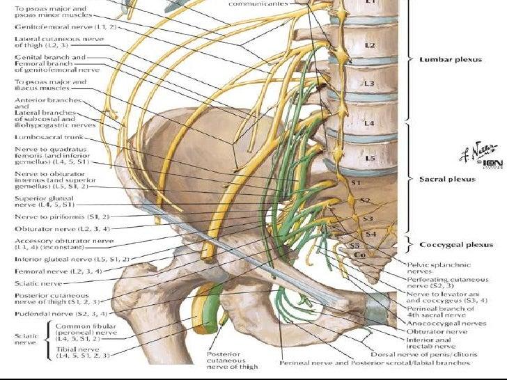 Increíble Nervio Espinal Lumbar Imagen - Anatomía de Las Imágenesdel ...
