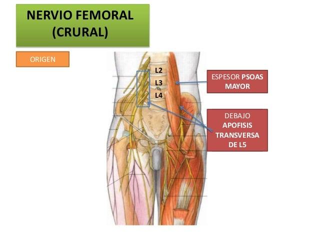NERVIO FEMORAL   (CRURAL)ORIGEN                 L2                      ESPESOR PSOAS                 L3       MAYOR      ...