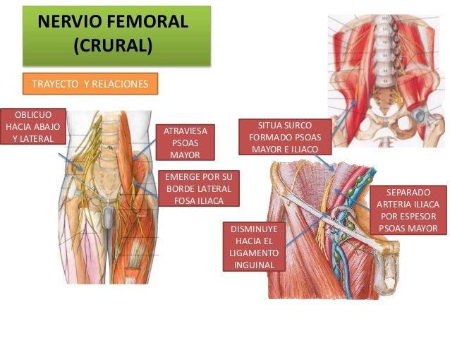 NERVIO FEMORAL         (CRURAL)     TRAYECTO Y RELACIONES OBLICUOHACIA ABAJO                                    SITUA SURC...
