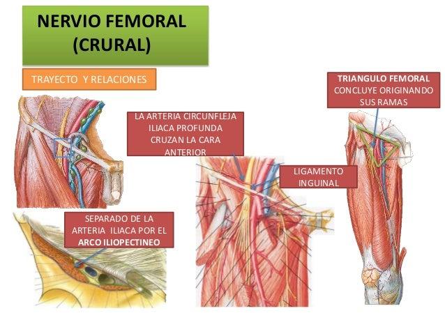 NERVIO FEMORAL    (CRURAL)TRAYECTO Y RELACIONES                                TRIANGULO FEMORAL                          ...