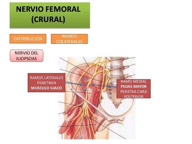 NERVIO FEMORAL   (CRURAL)                   RAMOSDISTRIBUCIÓN                 COLATERALESNERVIO DELILIOPSOAS      RAMOS LA...