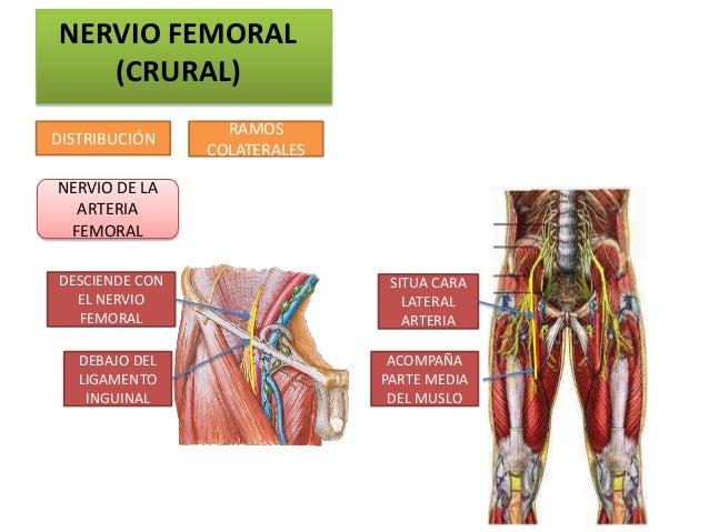 NERVIO FEMORAL   (CRURAL)                  RAMOSDISTRIBUCIÓN                COLATERALESNERVIO DE LA  ARTERIA FEMORALDESCIE...