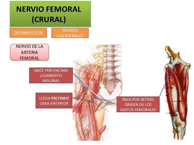 NERVIO FEMORAL   (CRURAL)                    RAMOSDISTRIBUCIÓN                  COLATERALESNERVIO DE LA  ARTERIA FEMORAL  ...