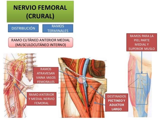 NERVIO FEMORAL   (CRURAL)                       RAMOSDISTRIBUCIÓN                     TERMINALES                          ...