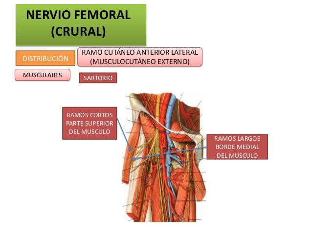 NERVIO FEMORAL   (CRURAL)                 RAMO CUTÁNEO ANTERIOR LATERALDISTRIBUCIÓN       (MUSCULOCUTÁNEO EXTERNO)MUSCULAR...