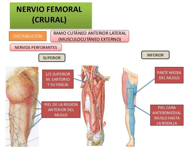 NERVIO FEMORAL    (CRURAL)                   RAMO CUTÁNEO ANTERIOR LATERALDISTRIBUCIÓN                     (MUSCULOCUTÁNEO...