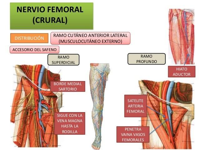 NERVIO FEMORAL    (CRURAL)                  RAMO CUTÁNEO ANTERIOR LATERALDISTRIBUCIÓN                    (MUSCULOCUTÁNEO E...
