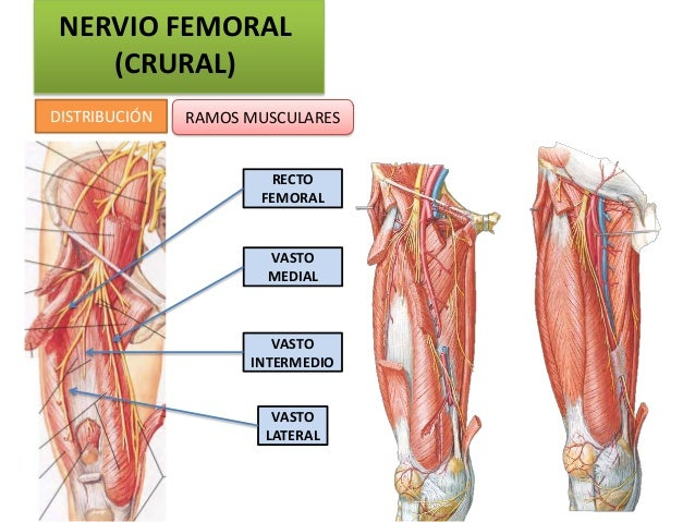 NERVIO FEMORAL    (CRURAL)DISTRIBUCIÓN   RAMOS MUSCULARES                       RECTO                      FEMORAL        ...