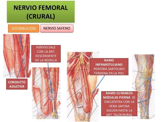 NERVIO FEMORAL     (CRURAL) DISTRIBUCIÓN   NERVIO SAFENO             NERVIO SALE             CON LA ART.            DESCEN...